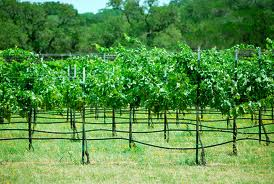 """Future wineries and vineyards of the Henderson County Wine Trail of Texas.  Picture courtesy of Google Image Search"