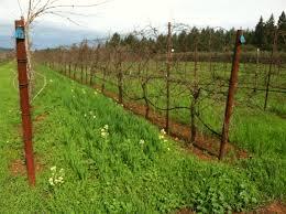 "Our Vineyard ""Silver Star Winery of Texas"" coming into fruitation.  Copyright 2014 John J. Rigo"